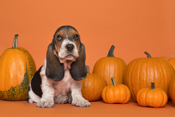 Giving Pumpkin to Your Pets